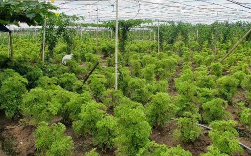 Hướng dẫn cách trồng cây đinh lăng đem lại lợi nhuận hàng trăm triệu